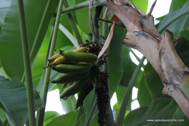 Banana (2)