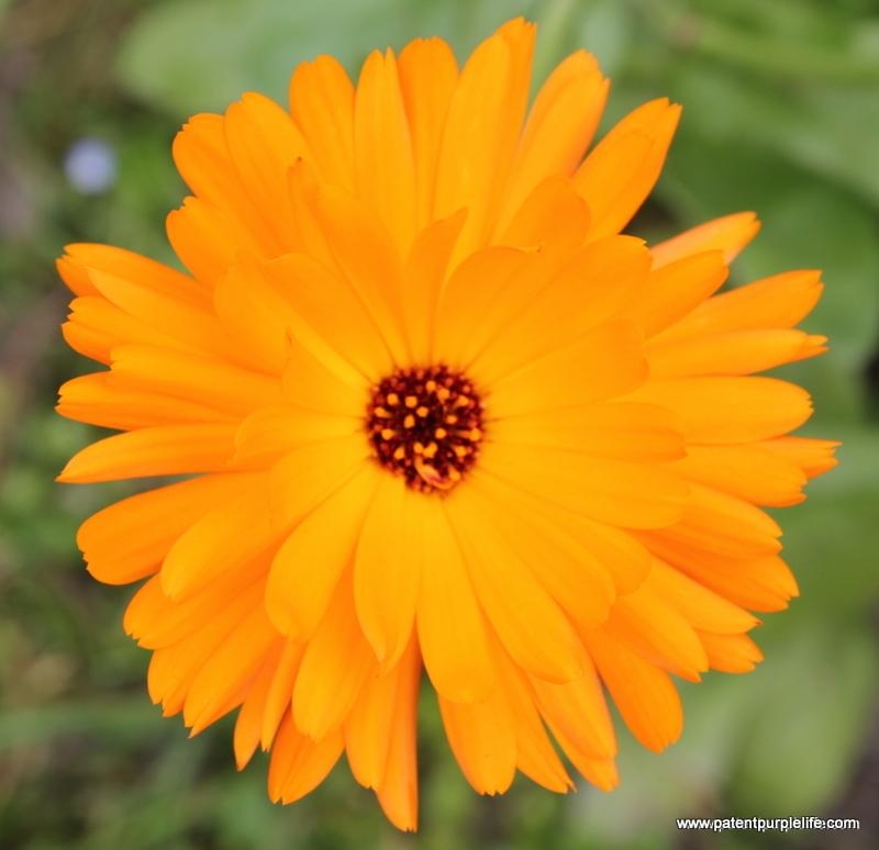Weleda Pot Marigold